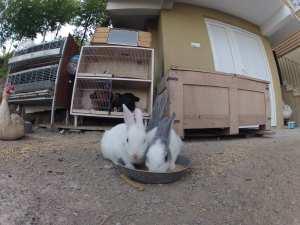 Parpalia Tavşanları
